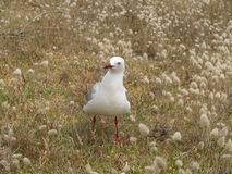 Seagull in the grass Stock Images