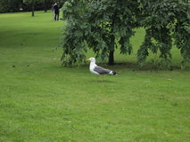 Seagull on the grass. In the garden. Green fields Royalty Free Stock Images