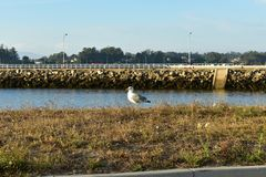 Seagull on the grass, with rocks, sea and pier. Sunny day, blue sky, sunset light. royalty free stock photos