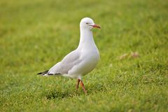 Seagull on grass Stock Image