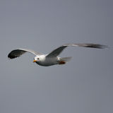 Seagull in the gray sky Royalty Free Stock Images