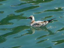 Seagull on green. Seagull resting on water of a canal in Annecy, Haute-Savoie (France Royalty Free Stock Photography