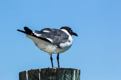 A seagull. A grey and black seagull perched on a wooden post on a clear blue sky day Royalty Free Stock Photos