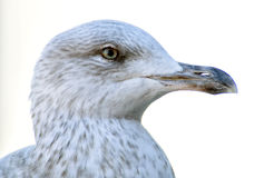 Seagull. Royalty Free Stock Images