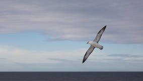Seagull Grimsey iceland Royaltyfri Bild