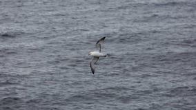 Seagull Grimsey iceland Arkivfoton