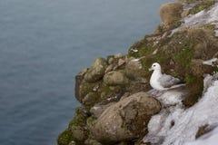 Seagull Grimsey iceland Royaltyfri Foto