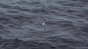 Seagull Grimsey iceland Arkivfoto