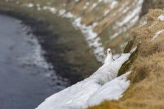 Seagull Grimsey iceland Fotografering för Bildbyråer