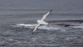 Seagull Grimsey iceland Royaltyfria Bilder