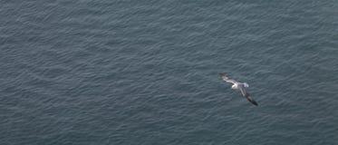 Seagull Grimsey iceland Royaltyfria Foton