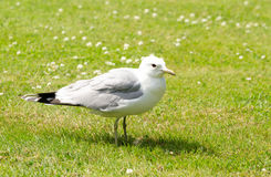 Seagull on the ground Stock Image
