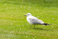 Seagull on the ground Stock Photo