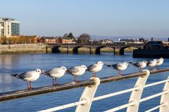 Seagull group resting in Shannon river royalty free stock photo