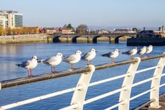 Seagull group resting in Shannon river stock photo