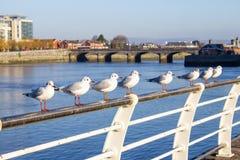 Seagull grupowy odpoczywać w Shannon rzece zdjęcie stock