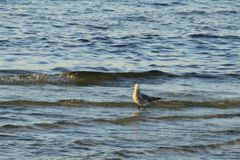 Seagull in the Gulf of Mexico royalty free stock photography