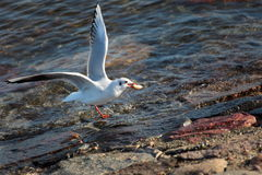 Seagull, gull Royalty Free Stock Photography