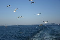 Pigeons fly in sky over the sea in Istanbul. Seagull seagull gull bird flight fly widener open wing white feather blue clear sky cloudless kelp larus below Royalty Free Stock Images