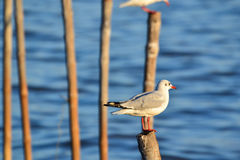Seagull or Gull (Family: Laridae). Seagull or Gull stands on stump(Family: Laridae Royalty Free Stock Photography