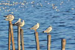 Seagull or Gull (Family: Laridae). Group of Seagull or Gull at sea (Family: Laridae Stock Photo