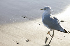 Seagull at the beach Royalty Free Stock Photos