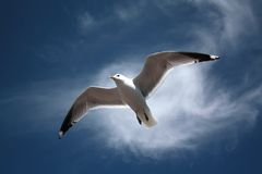 Seagull. Gull (Larus canus) on a fly Royalty Free Stock Photos
