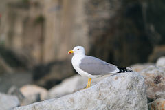 Seagull. Gull on the rocks, Seagull standing on a rock Stock Photos