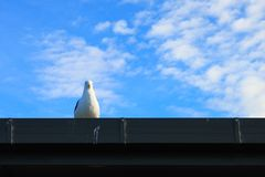 New zealand seagull on the roof. Seagull/gull/seabird is watching down from the roof in cloudy, sunny, summer day. New zealand, South island royalty free stock photo