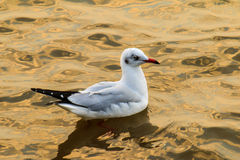 Seagull. Gulls at sea, many lives Royalty Free Stock Photos