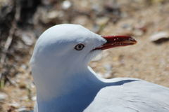 Seagull. Gulls or seagulls are seabirds of the family Laridae in the suborder Lari. They are most closely related to the terns and only distantly related to auks Stock Photo