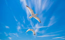 Seagull. Gulls or seagulls are seabirds of the family Laridae in the suborder Lari. They are most closely related to the terns family Sternidae and only Royalty Free Stock Image