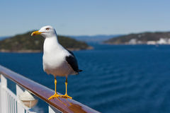 Seagull on handrail. A seagull is sitting on the handrail of a cruise ship on a sunny summer day in the middle of the Oslo fjord stock photography