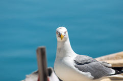 Seagull. Handsome yellow-legged gull near the sea Stock Photo