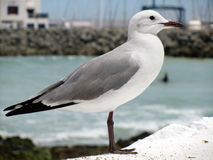 Seagull at Harbor. Proud seagull in port on yachts background, at Harbor, Seagull Close Up stock photography