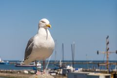 Seagull with harbor in the background royalty free stock photo