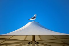 Seagull at Harbor. A beautiful white and grey seagull at the harbor Stock Photography