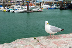 Seagull in harbor Dieppe stock images