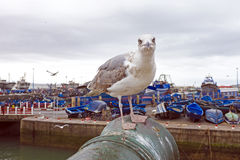 Seagull in the harbor from Essaouira Morocco Stock Images