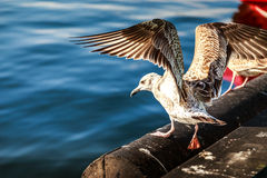Seagull. In the harbor - Hel, Poland Stock Images