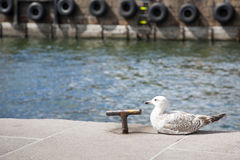 Seagull in the harbor. With nautical background Stock Images