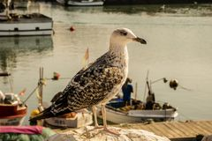 Seagull in the harbor in Portugal royalty free stock image