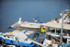 Seagull in a harbor Stock Photography