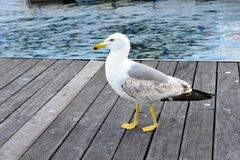 Seagull in a harbour, near the sea. Seagull in a port Royalty Free Stock Photo