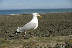 Seagull on harbour wall Stock Photo