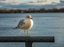 Seagull on Harbourfront - Toronto, Ontario, Canada. Seagull on Harbourfront in Toronto, Ontario, Canada Royalty Free Stock Images