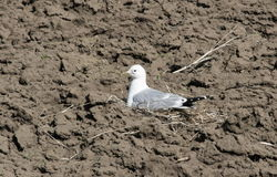 Seagull hatches Chicks Royalty Free Stock Photo