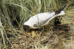 Seagull hatches out eggs Royalty Free Stock Image