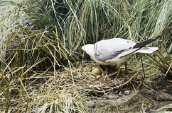 Seagull hatches out eggs Stock Image