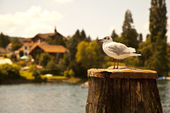 Seagull having a rest Royalty Free Stock Photos